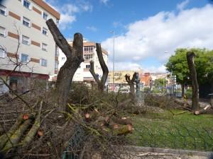 Diga de Sua Justiça / Grupo Amigos Árvores Sintra – Abate de Tipuanas em Queluz